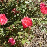 Knock Out Roses - single red blooms